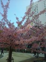 錦糸公園の寒桜3-15.jpg