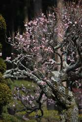 梅 身延山久遠寺
