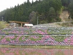 風景に溶け込む芝桜