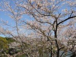桜(2021.3.23)