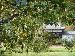 三日月陣屋と柿の木