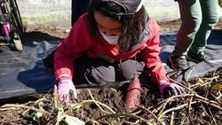 サツマイモ収穫5