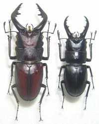 ノコギリ&ハチジョウノコ