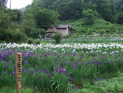 西新宿花しょうぶ4