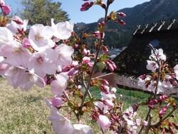 4_桜と古民家