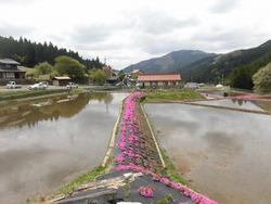 水田に映える芝桜
