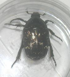 シラホシハナムグリ(墨田区産)♀