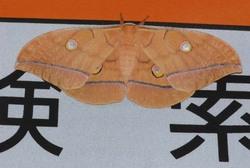 ヤママユ20080906.jpg