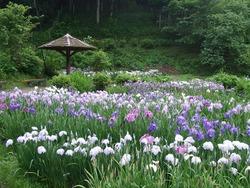 西新宿花しょうぶ1