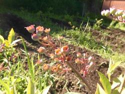 ブルーベリー果樹園