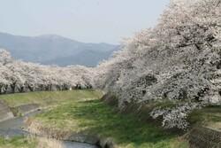 横川川の桜