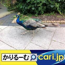9_Peacock191204w500x500