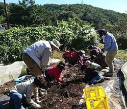 サツマイモ収穫yoko2