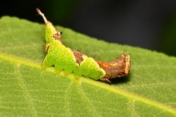ムラサキシャチホコ幼虫.jpg