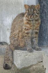 400px-Tsushima_Cat_001.jpg