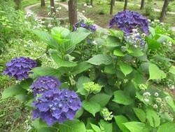 4.彩りの森紫陽花園①