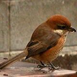 DSCN0010・庭の野鳥・HPモズUP・.JPG