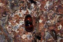 甲虫交尾2009-01-24 046.jpg